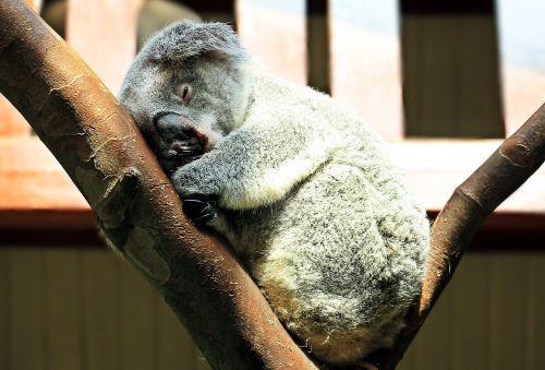 koala animal sweet