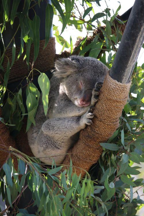 koala zoo san diego