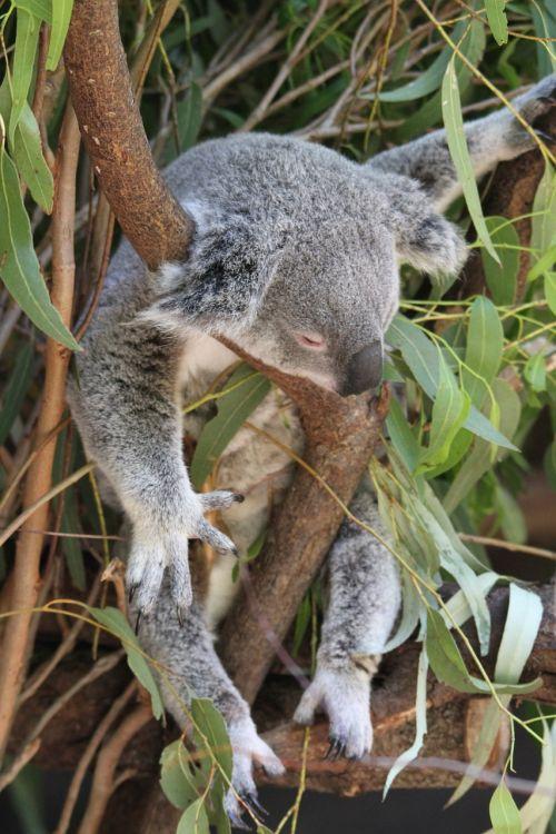koala phascolarctos cinereus animal