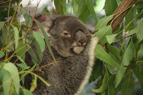koala australia tree