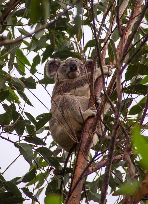 koala,marsupial,pilka,pūkuotas,laukiniai,medis,gumos medis,piktograma,Queensland,australia,gyvūnas,mielas