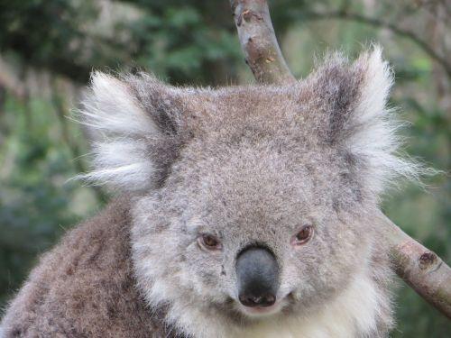 koala australia wildlife