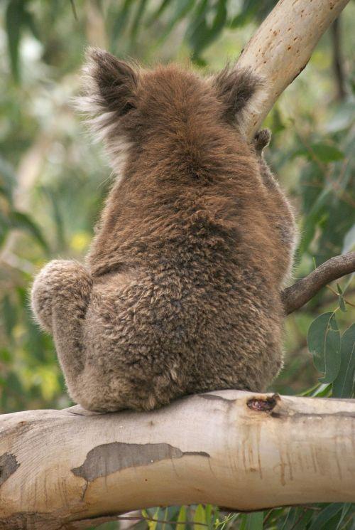 koala koala bear australia