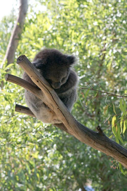 koala koala bear bear
