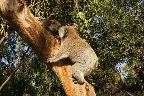 koala australia koala bear