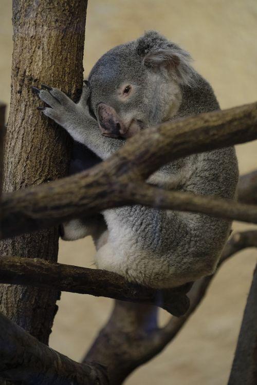 koala bear marsupial