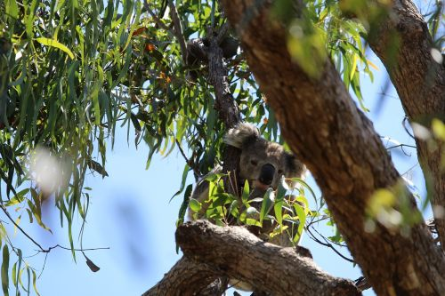 koala tree gum
