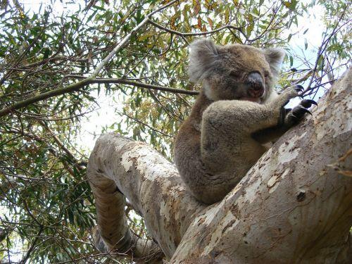 koala eucalyptus sleep
