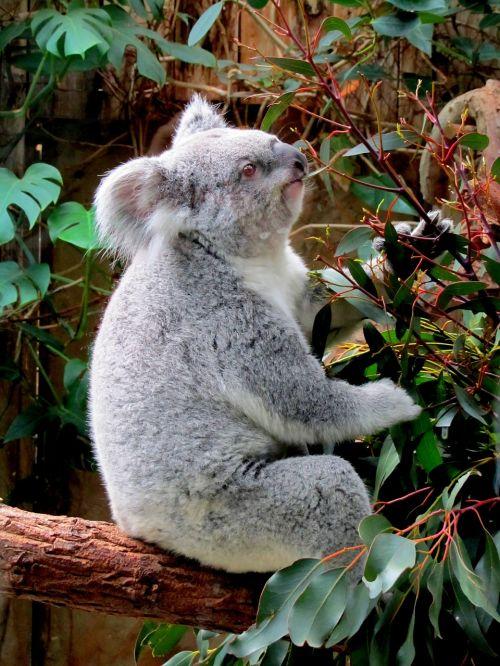 koala zoo purry