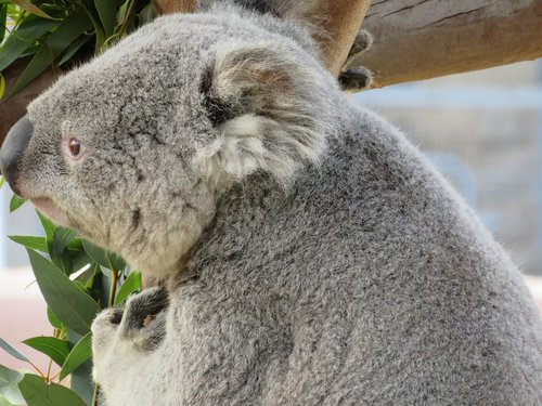 koala  san diego zoo  marsupial