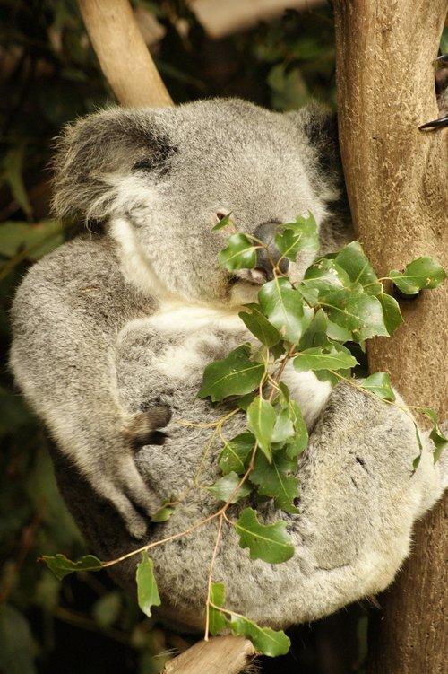 koala  koala bear  eucalyptus
