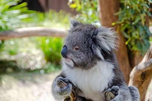 koala  mammal  marsupial