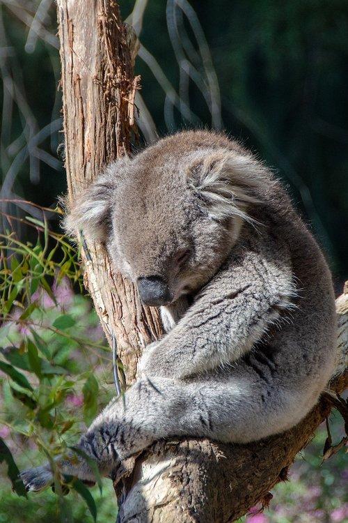 koala  marsupial  mammal