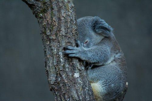 koala  tree  animal