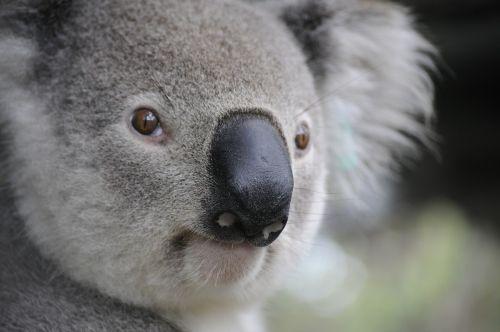 koala nature animals