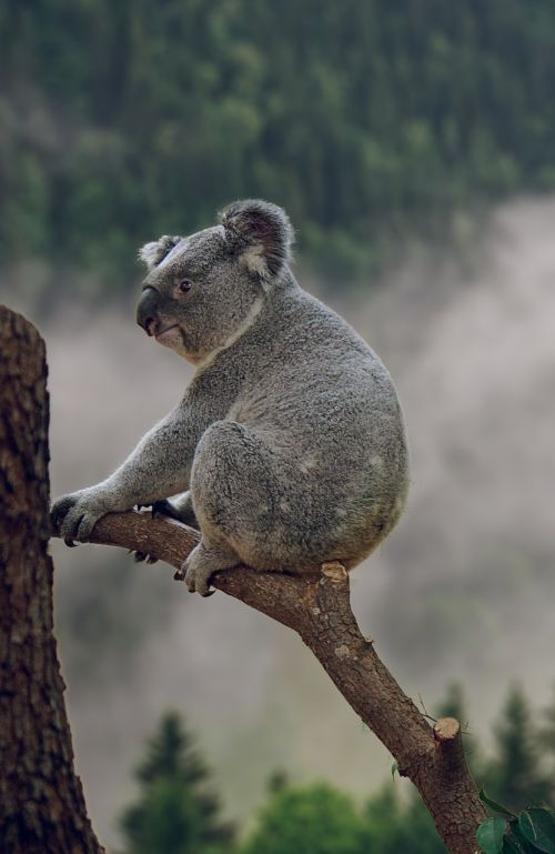 koala phascolarctos koala bear