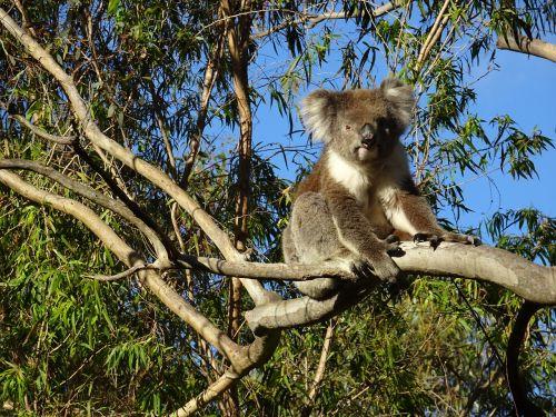 koala bear gawler ranges port lincoln