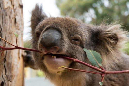 koala bear  lunch  kangaroo island