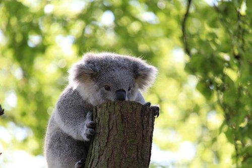 koala bear  climb  tree