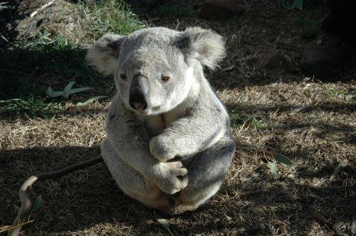 koala bear koala native animal