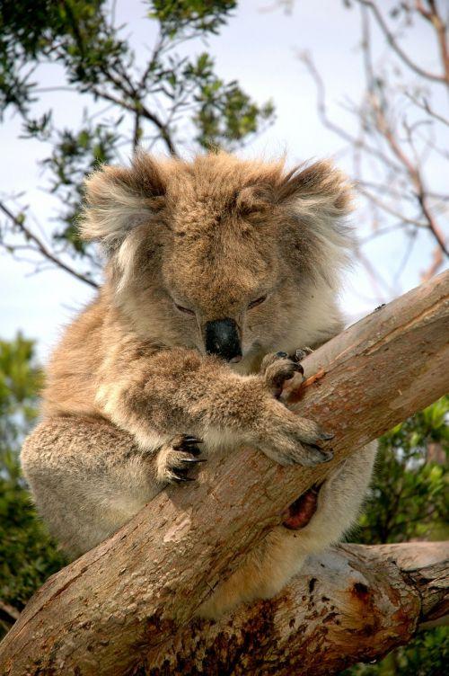 koala bear australian native animal koala