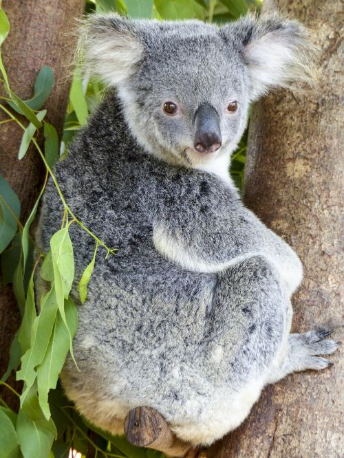 koala bear animal mammal