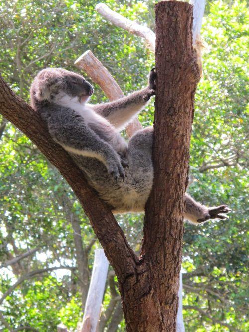 koala koala bear cuddly animal marsupial