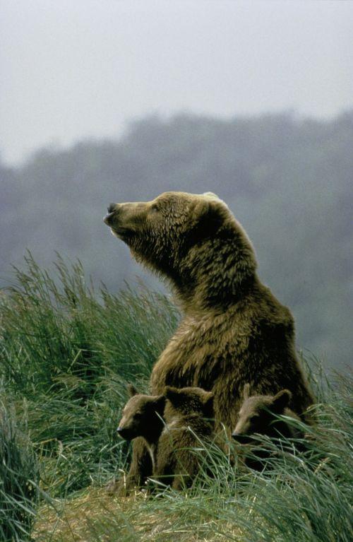 kodiak bear cubs bears