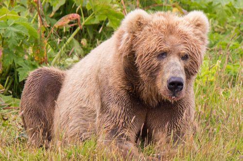 kodiak brown bear mammal predator