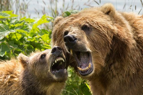 kodiak brown bears sow cub