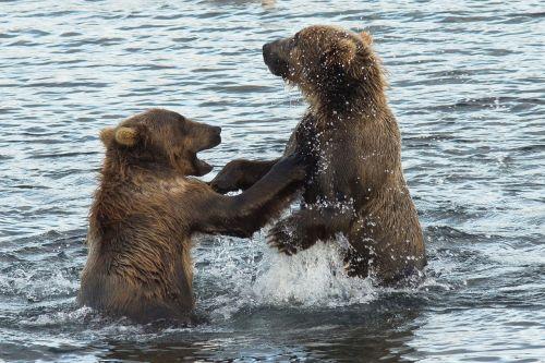 kodiak brown bears water standing