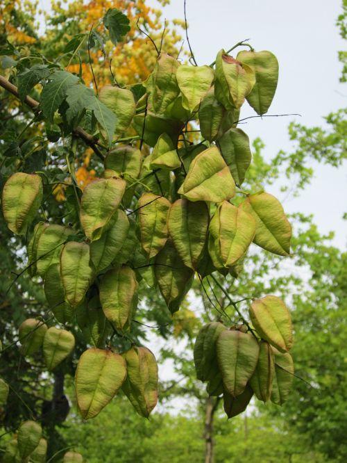 koelreuteria paniculata goldenrain tree china tree