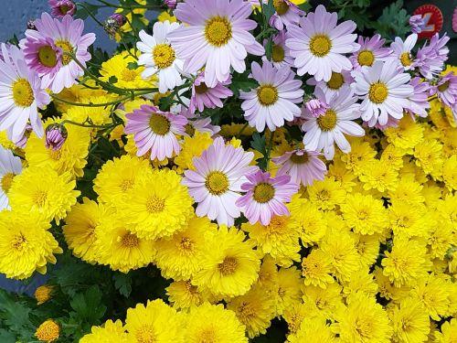 kogiku yellow fall flowers
