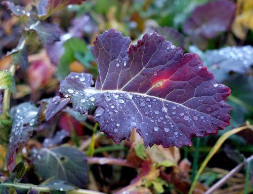 kohl leaf raindrop
