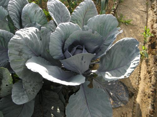 kohl red cabbage garden