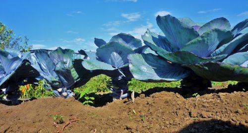 kohl vegetables garden