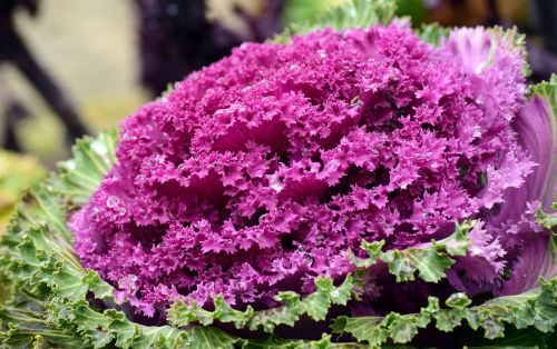 kohl ornamental cabbage winter