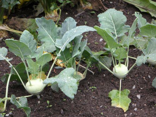kohlrabi bed vegetable patch