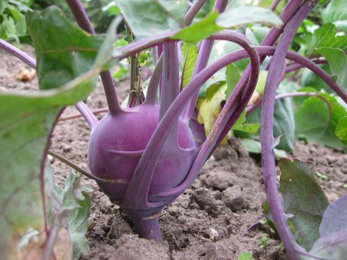 kohlrabi vegetables food