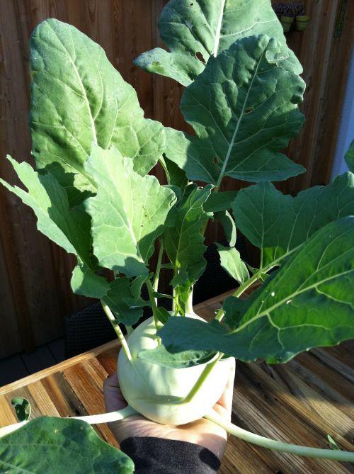 kohlrabi plant vegetables