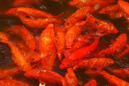 koi goldfish pool