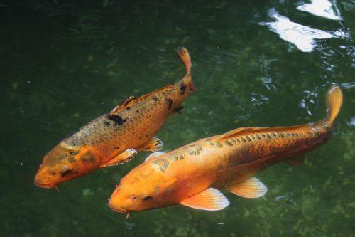 koi fish water