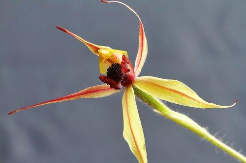 kojonup  leaping spider orchid  caladenia macrostylis
