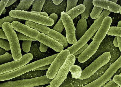 koli bacteria escherichia coli bacteria