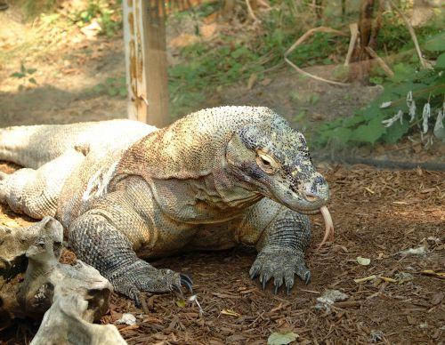 komodo dragon lizard reptile