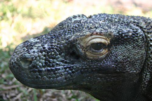 komodo dragon reptile lizard