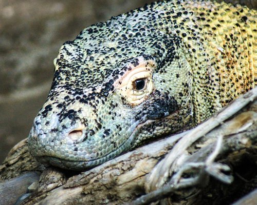 komodo dragon  lizard  monitor