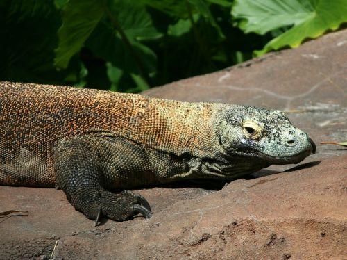 komodo dragon lizard komodo monitor