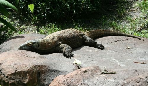 komodo dragon komodo monitor lizard