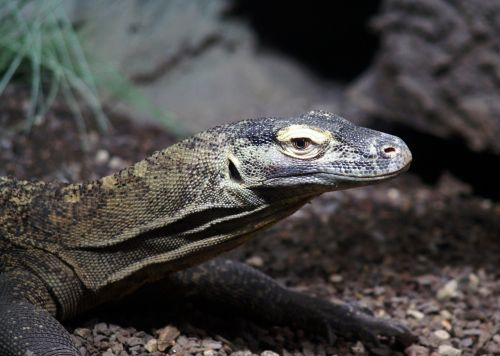 komodo dragon lizard animals